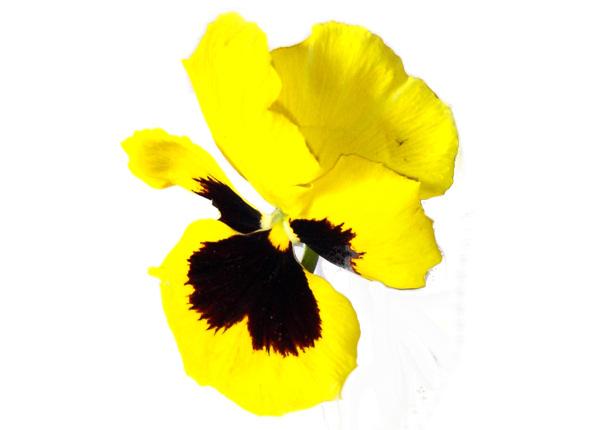 Dāvanas priekam - pašaudzēta puķe